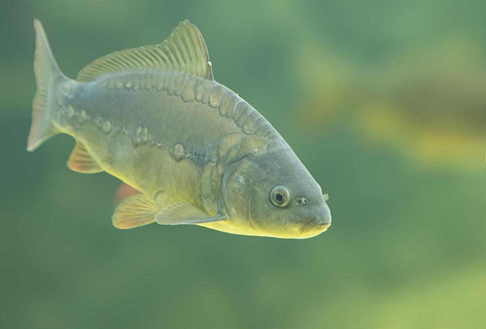 Перловка для рыбалки: как приготовить и насаживать