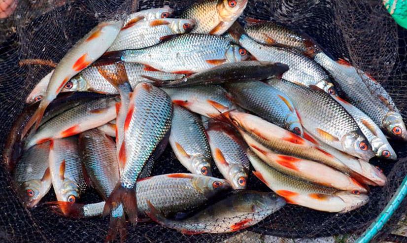 Ловля плотвы на фидер: снасти и наживка, особенности ловли